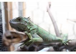 动物,爬行动物,木,特写,鬣蜥,宠物383448