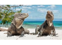 动物,爬行动物,海滩,鬣蜥438372