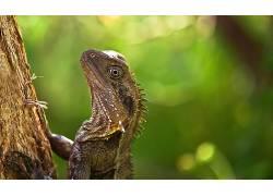 动物,爬行动物,蜥蜴,宏439793