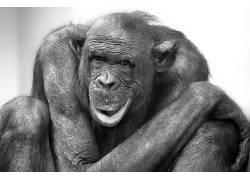 动物,哺乳动物,类人猿,单色586018