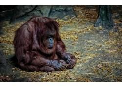 动物,哺乳动物,类人猿,悲605822