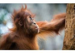 动物,哺乳动物,类人猿372417