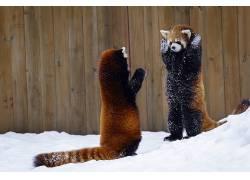 动物,哺乳动物,红熊猫455785