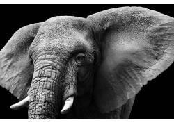 动物,哺乳动物,象,单色,性质455795