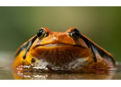 动物,特写,青蛙,两栖动物570186