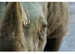 动物,犀牛,眼睛,看着观众381637