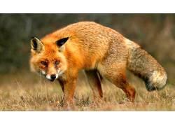 动物,狐狸,性质,摄影575089