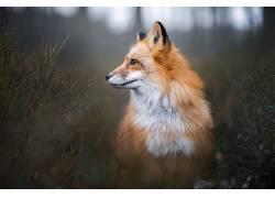 动物,狐狸,特写,肖像,Iza?yso��599342