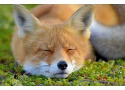 动物,狐狸,面对,闭着眼睛575942