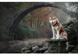动物,狗,桥,性质,西伯利亚雪橇犬633716