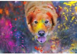 动物,狗,油漆飞溅,华美,舌头,背景虚化,灰尘,拉布拉多寻回犬,看着