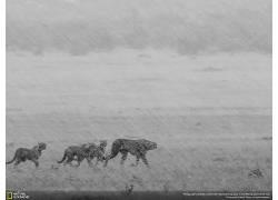 动物,国家地理,猎豹424731