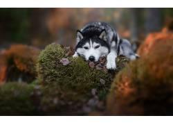 动物,狗,狼,性质651662