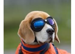 动物,狗,眼镜407597