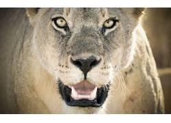 动物,大猫,狮子449191