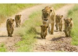 动物,大猫,狮子449194