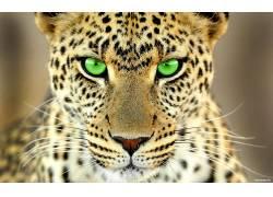 动物,大猫,绿眼睛,豹(动物)387694