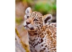 动物,大猫,美洲虎449921