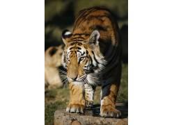 动物,大猫,虎449922