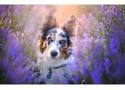 动物,狗,边境牧羊犬425236