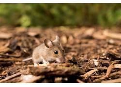 动物,大鼠414991