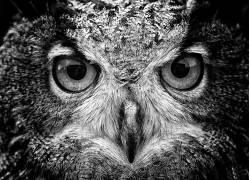 动物,宏,猫头鹰,鸟类286852