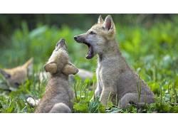 动物,小动物,性质,狼,领域,打哈欠164781