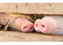 动物,小动物,性质,猪,口鼻部,篱笆,木,粉164783