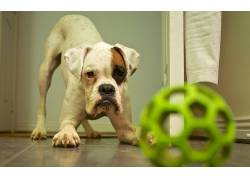 动物,小动物,狗,球,玩具,在地上164782