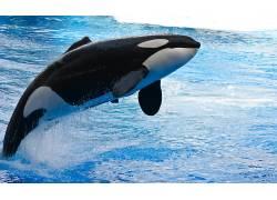 ORCA,动物,鲸,水,跳跃150591