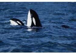 ORCA,动物,鲸97477
