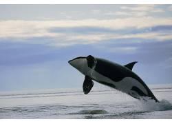 ORCA,性质,动物,鲸97496