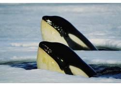ORCA,水,鲸,动物97516