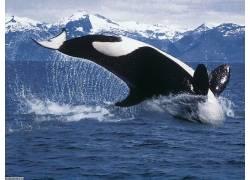 ORCA,海,水,鲸,动物97551