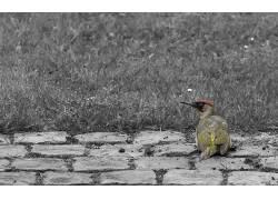 Yaffle,选择性着色,鸟类,动物11732