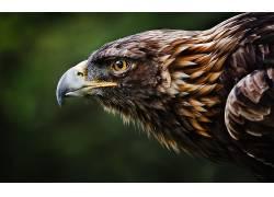 东帝王鹰,性质,动物,鸟类,鹰19116