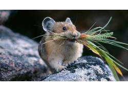 仓鼠,动物265340