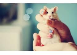 仓鼠,手,动物,老鼠264162