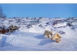 冬季,性质,雪,北极熊,动物,播放341595