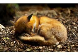 动漫,狐狸,动物,睡眠63130