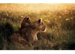 动漫,狮子,动物,大草原,小动物24880