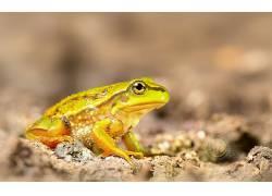 动物,两栖动物,青蛙,宏350457