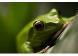 动物,两栖动物,青蛙,宏350461