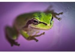 动物,两栖动物,青蛙,景深339348