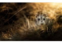 动物,仓鼠264838