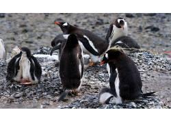 动物,企鹅,鸟类,小动物230231