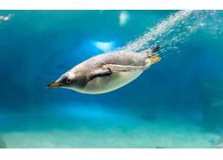 动物,企鹅,鸟类,水下180358