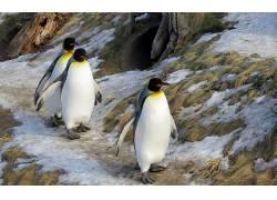 动物,企鹅,鸟类273892