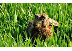 动物,兔,兔子耳朵22276