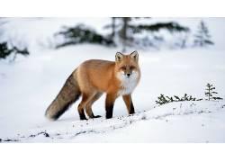 动物,冬季,雪,狐狸147768